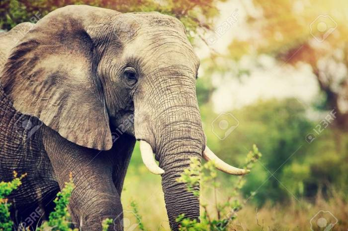 68281246-portrait-of-a-big-beautiful-elephant-outdoors-wild-animal